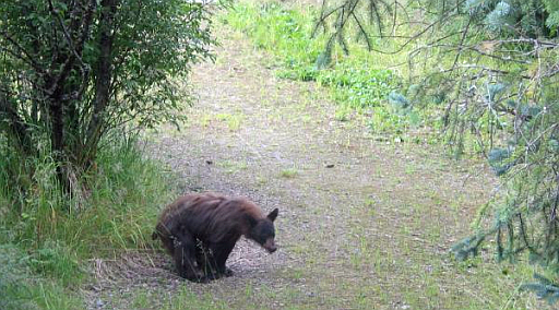Bear poops in woods.  News at eleven!