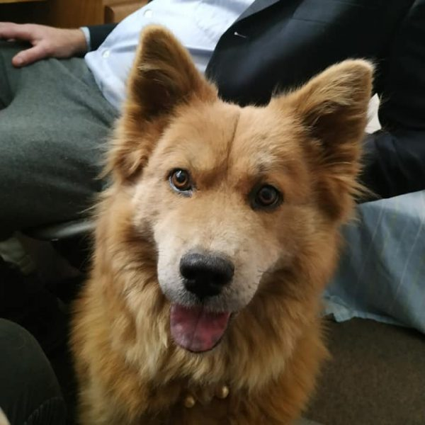 Red Haired fluffy dog with pointy ears looks at the camera.